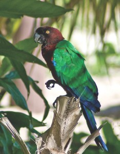 Red Shining Parrot by Michael Howard
