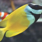 Rabbitfish
